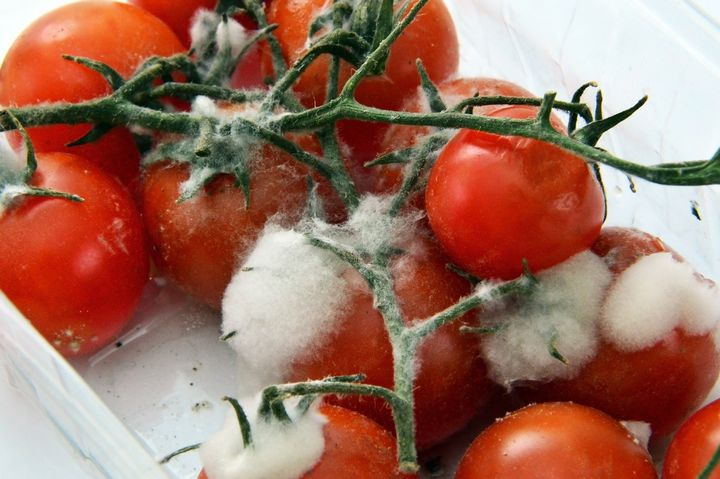 Moldy tomatoes