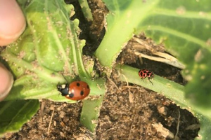 Two species of ladybeetle out on aphid patrol