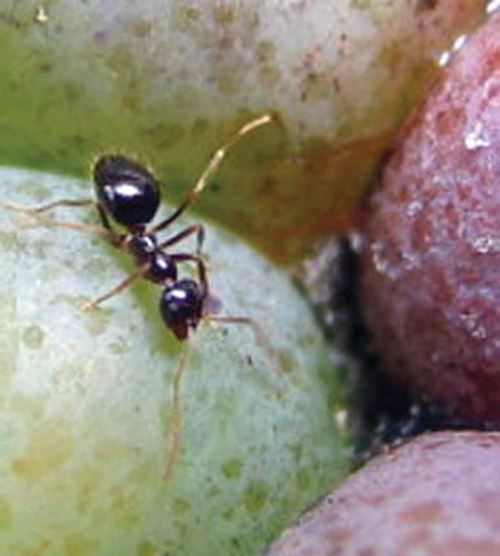 Many species of ant feed on ripe berries.