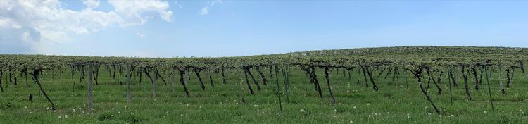 Grape vineyard in early stages of shoot growth