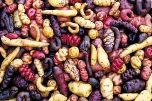Genetic diversity within potatoes