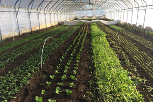 The North Farm's 30' x 192' hoophouse planted for winter production.