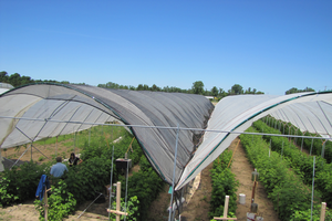 Through the tunnel: Reinvigorating raspberries in Michigan