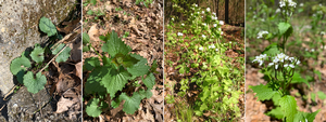 Garlic mustard: Michigan's worst woodland weed