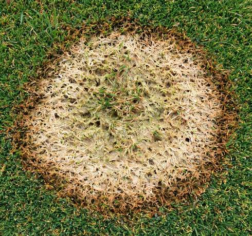 Image result for snow mold