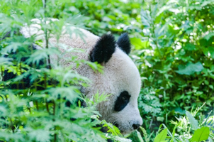 Panda in a forest