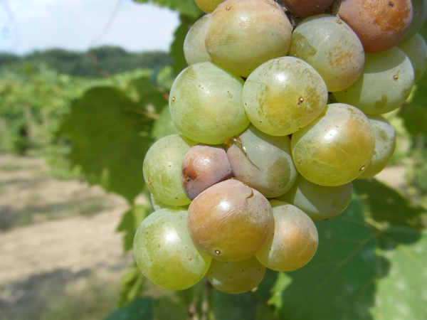 Early symptoms of Botrytis bunch rot in grapes.