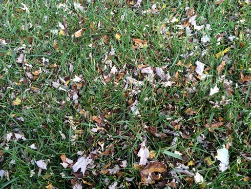 Leaf residue left behind on the surface of the lawn after mulching over leaves. The tiny pieces will last a few days and eventually sift down through the turf. Photo by Kevin Frank, MSU