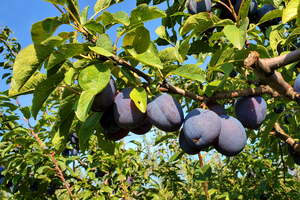 Southwest Michigan fruit update – Aug. 18, 2020