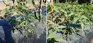 Southwest Michigan vegetable update – June 24, 2020