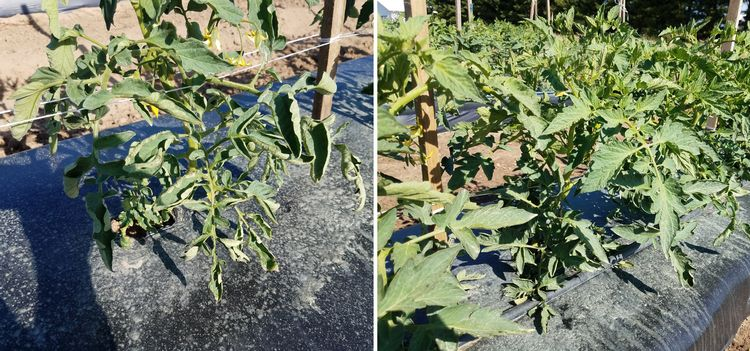 Tomato showing leaf curling and non-curling