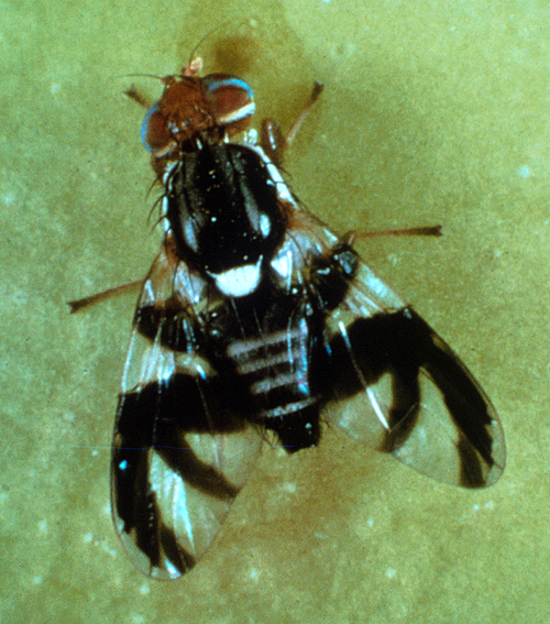 Adults are black flies with white crossbands on the abdomen (3 on males, 4 on females), a prominent