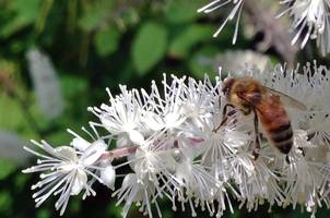 Bee on snakeroot.