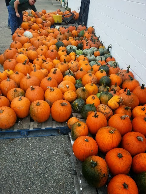 Harvested Pumpkins to be sold in the 2013 Pumpkin Fundraising Sale