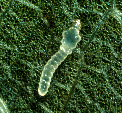 Yellowish larva has dark head and lives inside the leaf.