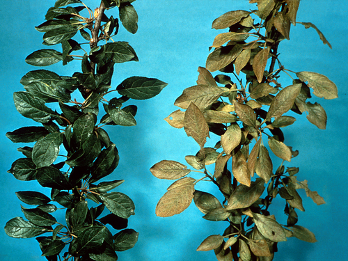 Healthy foliage on left. Damaged foliage on right shows bronzing.