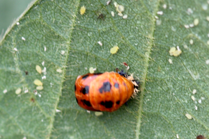 Multi-colored Asian lady beetles are moving from fields to homes