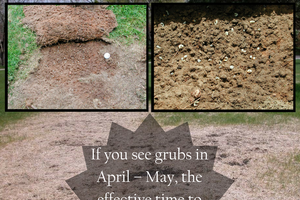 If you see grubs in April – May, the effective time to apply insecticide is late May – August.