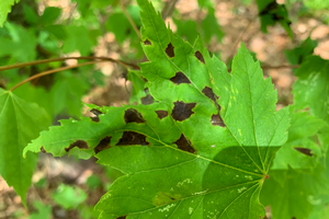 Maple leaf blister and anthracnose: Two diseases of maple leaves
