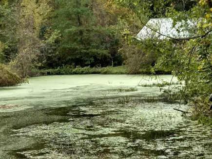 Duckweed covering a pond.