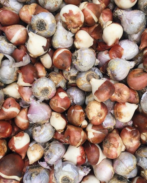 A mixture of tulip and hyacinth bulbs