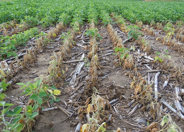 Phytophthora root and stem rot in soybean