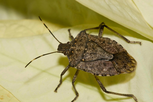 Scout for brown marmorated stink bugs during harvest in 2017. Photo by Susan Ellis, Bugwood.org.