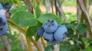 The MSU Product Center Food-Ag-Bio assists small businesses, such as blueberry farms, by helping them developing value-added products from their farms.