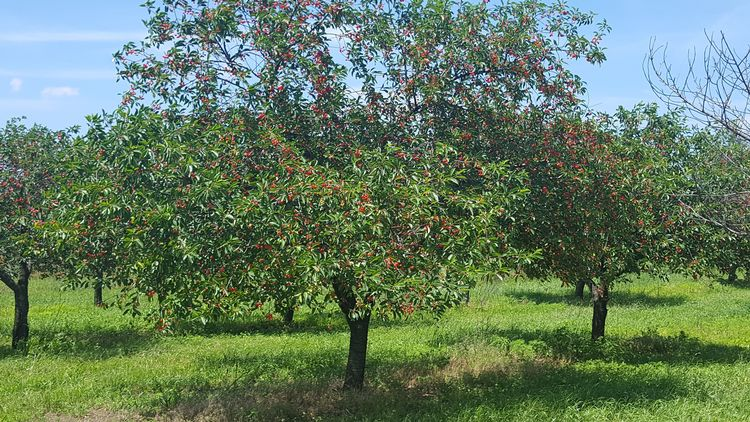 The hot weather moved fruit quickly. Most of the cherries in southwest Michigan turned red over the hot weekend.