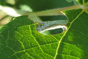 August is key time for protecting clusters from grape berry moth
