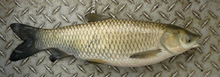 Figure 1 – Grass carp is one of the nonindigenous species for which information is updated in TM161-c.