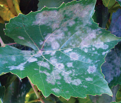 Powdery mildew can infect all green tissue and give them a whitish gray, powdery appearance.