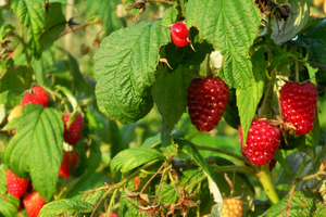 Class on growing and preserving strawberries and raspberries at home offered June 19
