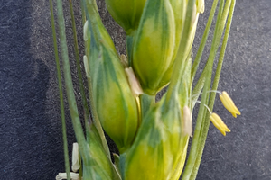 Wheat head with flowers (anthers) mark the time for fungicide application. Photo by Martin Nagelkirk, MSU Extension.