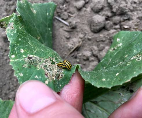 These industrious striped cucumber beetles are busy creating damage and the next generation of cucumber beetle. Photos by Marissa Schuh, MSU Extension.