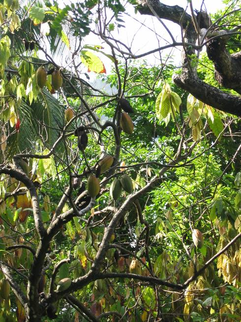 Cacao trees grow in rainforests and cacao pods grow directly on the trunks of cacao trees.