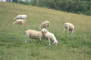 Birth management clinic for sheep and goats