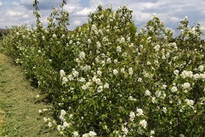 Saskatoons in bloom