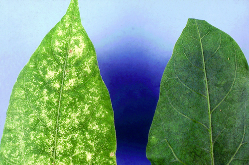 Leaves become speckled (damaged leaf on left, healthy on right).