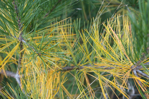 Why are my interior conifer needles turning yellow?