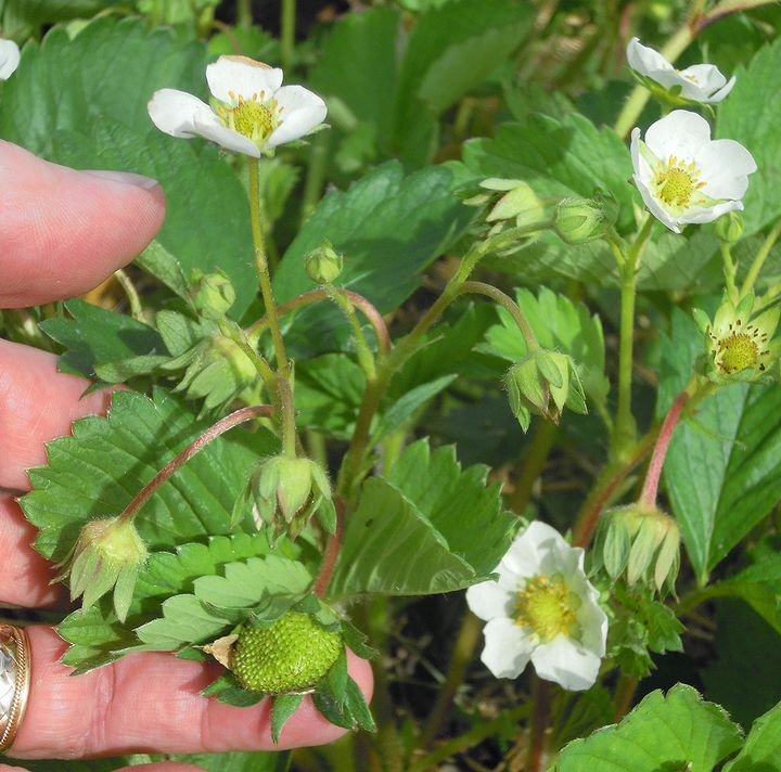 Strawberry bloom and fruit. The primary flower in this fruit cluster is now a thimble-sized fruit as the last flowers are just opening. Photo credit: Mark Longstroth, MSU Extension.