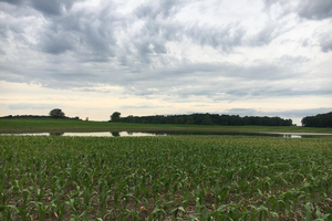 Standing water in corn field. All photos by Monica Jean, MSU Extension.