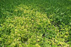 Photo 1. Typical foliar symptoms of potassium deficiency in soybean field.