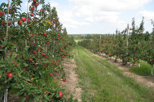 ReTain application at king bloom petal fall shows promise in increasing fruit set of SweeTango apples
