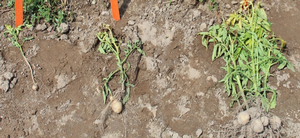 Options for controlling volunteer potatoes