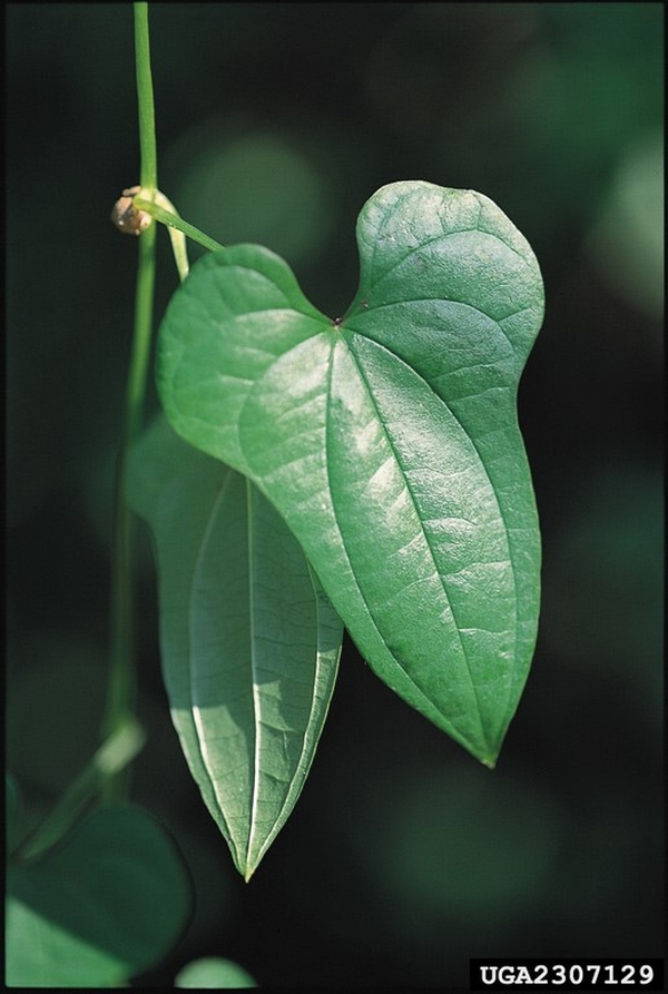 Chinese yam has leaves that are heart-shaped  Photo credit: James H. Miller, USDA Forest Service, Bugwood.org