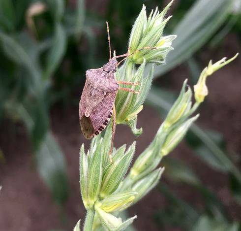 Brown marmorated stink bugs have a brown, shield-shaped body with black and white banding along both their rear end and antennae. Photo by Marissa Schuh, MSU Extension.