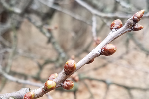 Southwest Michigan fruit update – March 31, 2020