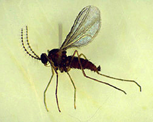 Adult is a tiny, dark brown fly.