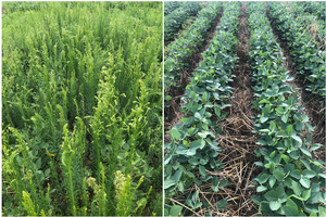 Can cover crops control horseweed?